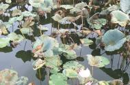 Đất view mặt hồ hoa sen 81m2  tạ Thôn Đìa, Nam Hồng, Đông Anh
